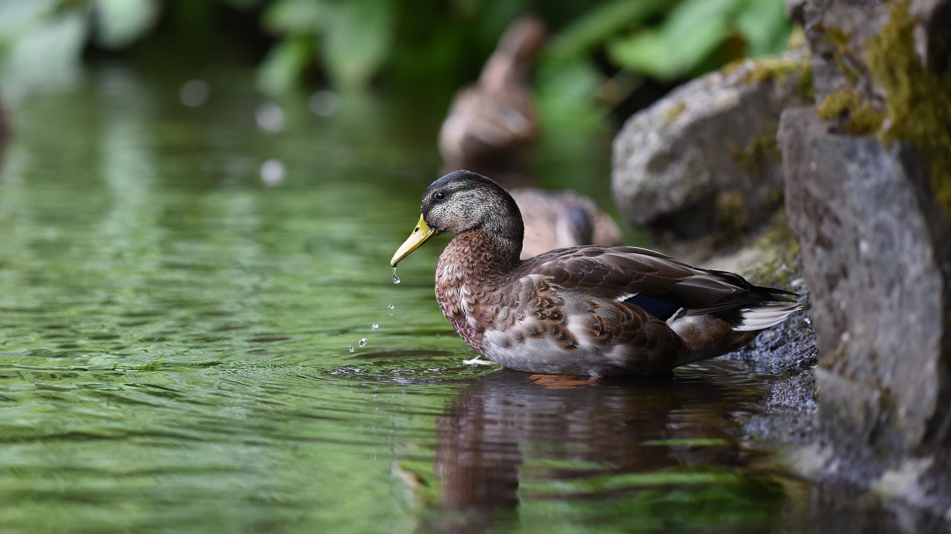 Fakta Seru Si Bebek Ada Bebek Yang Bisa Menyelam Berenang